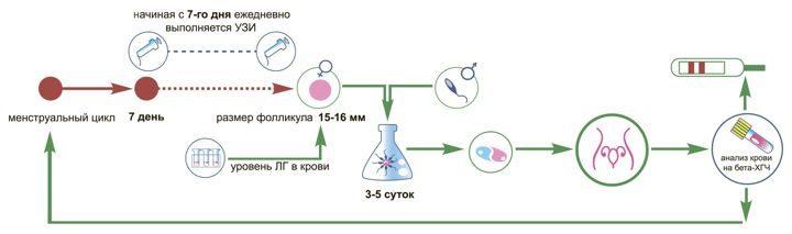 ЭКО в естественном цикле без гормональной стимуляции